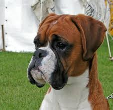 boxer dog price beeann boxers show dogs u0026 stud dogs red u0026 brindle breeders of