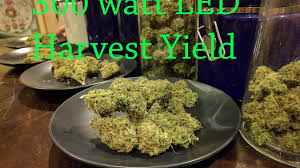 growing autoflower with led lights 300w led harvest yields easy grow series autoflower cannabis dry