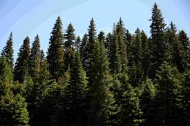 Oregon Forest images Feds visit sweet home to pick perfect christmas tree for the west lawn JPG