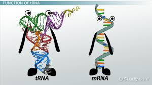 trna role function u0026 synthesis video u0026 lesson transcript