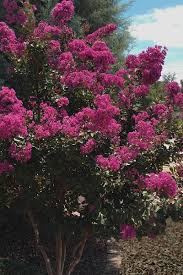 buy velmas royal delight crape myrtle for sale from wilson