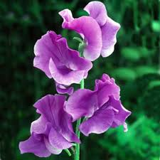 sweet pea flowers the birthflower for april albuquerque florist