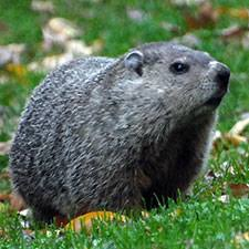 dnr groundhog woodchuck