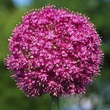 allium giganteum ornamental bulbs for sale