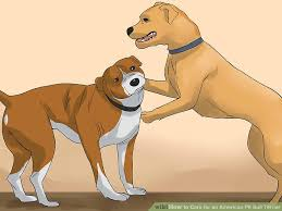 jack russell american pitbull terrier mix 4 ways to care for an american pit bull terrier wikihow