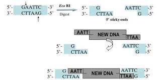 restriction enzymes how is dna manipulated