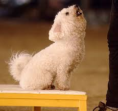 bichon frise dog pictures bichon frise dog breed information puppies u0026 pictures