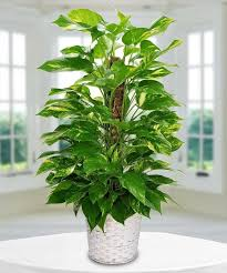 plant delivery pothos plant delivery in boston ma central square florist