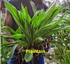 black bean aboriginal use of native plants amen par ankh sacred temple of life 2012