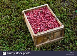 box of fresh picked cranberries sitting in a dry cranberry bog