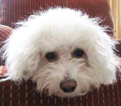 bichon frise dog breeders is a bichon maltese mix the right dog for you