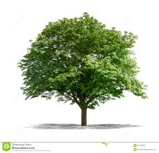 green tree on a white background royalty free stock photo image