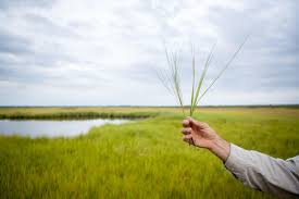 chesapeake bay native plants the ambitious plan to save chesapeake bay u0027s shrinking saltmarshes