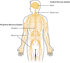 Human Anatomy And Body Systems 12 1 Basic Structure And Function Of The Nervous System Anatomy