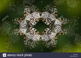 beautiful pattern tree nymph butterfly making a beautiful kaleidoscope like pattern