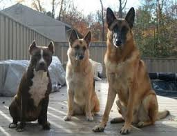 belgian shepherd nz the german shepherd dog and its relatives mygermanshepherd org