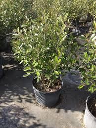 Florida Native Plants Pictures Smarty Plants Nursery