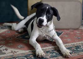 australian shepherd jack russell mix size black lab beagle mix size aarf pinterest beagle mix black