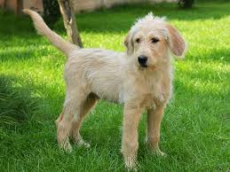 australian shepherd labradoodle labradoodle puppies breed information u0026 puppies for sale