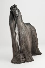 afghan hound rescue england afghan hound dog breed photography puppy hounds chien puppies pup