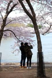 cherry blossom pics photos 2018 cherry blossoms wtop