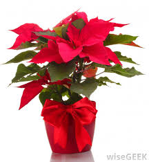 Pointsettia What Are Poinsettias With Pictures