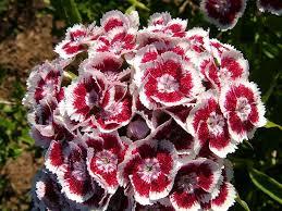 sweet william flowers dianthus barbatus sweet william caryophyllaceae images
