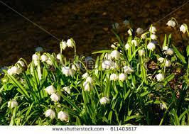 Snowflake Flower - spring snowflake stock images royalty free images u0026 vectors