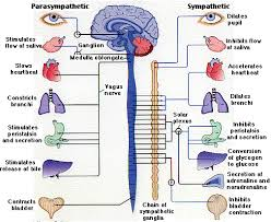 Ans Anatomy And Physiology Human Physiology Neurons U0026 The Nervous System Ii