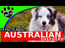 australian shepherd club qld australian shepherd dog show video funnydog tv