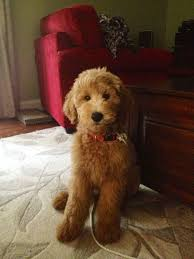 labradoodle hairstyles image result for goldendoodle teddy bear cut puppies pinterest