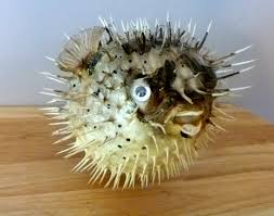 Fish Home Decor Porcupine Fish 7 10 Puffer Fish Blowfish Preserved