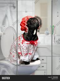 Dog In Shower by Funny Dog In A Shower Cap And Pajamas Sitting On The Toilet In The