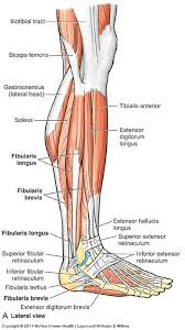 Human Anatomy Flashcards Lateral Leg Muscles Flashcards Anatomy 11 Leg Ankle Joint