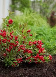 sonic bloom red reblooming weigela weigela florida