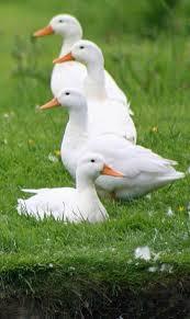 496 best ducks images on pinterest animal paintings baby ducks