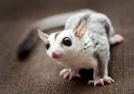 are sugar gliders good pets what if the answer is no