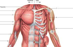 Chest And Shoulder - solved identify the muscles indicated in the chest shoulder