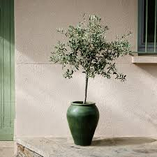 olive trees for sale buy olive trees for sale fast growing trees