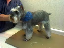 mini schnauzer haircut styles schnauzer mini groom page naju the fun place for your pets