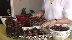 narcissus paperwhites bulbs how to plant guide youtube