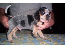 bluetick coonhound kennels in ga beagle puppies for sale akc open marked blue tick beagle pups