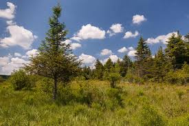 christmas tree species disappearing in the wild west virginia