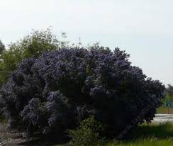 drought tolerant hedges wind breaks and screens with california