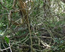tree stranglers vines overtaking tropical forests