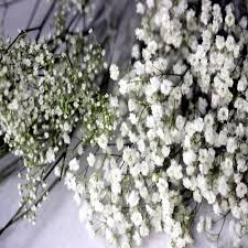 baby s breath flowers babys breath flower seeds the sun seeds