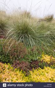 drought tolerant succulent groundcover foliage tapestry of sedum