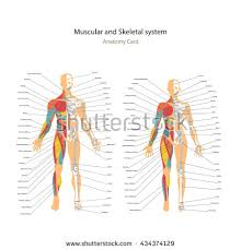 Female Muscles Anatomy Male Female Muscle Bony System Charts Stock Vector 434374129