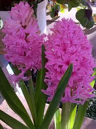 lafayette florist hyacinth lafayette florist greenhouses in lafayette c flickr
