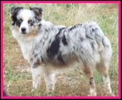mini australian shepherd 3 months litter 3 skye ghost eye mini aussies available puppies for sale